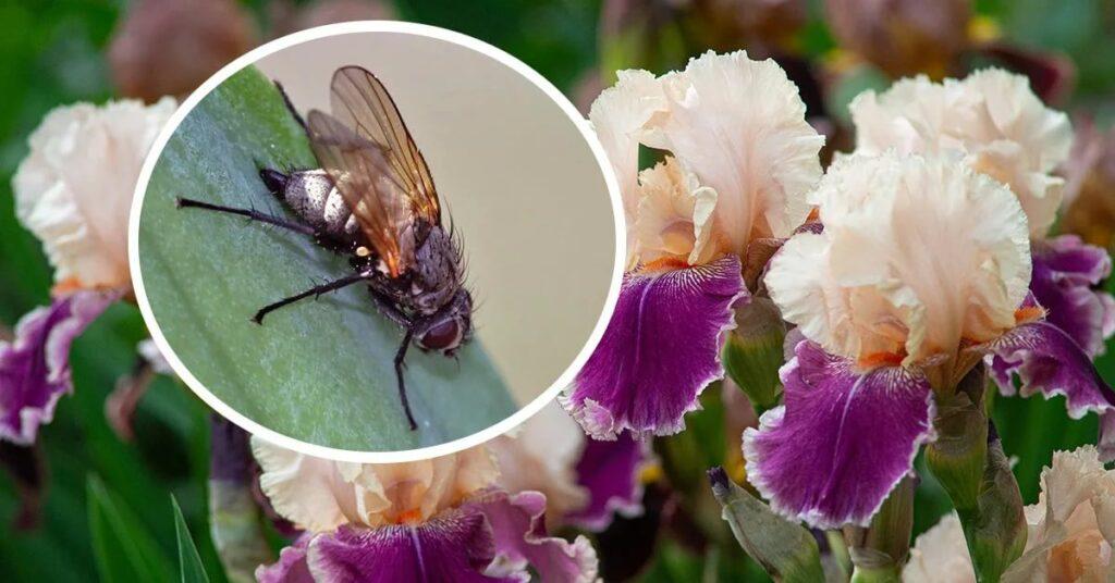 Ирисовая муха или цветочница