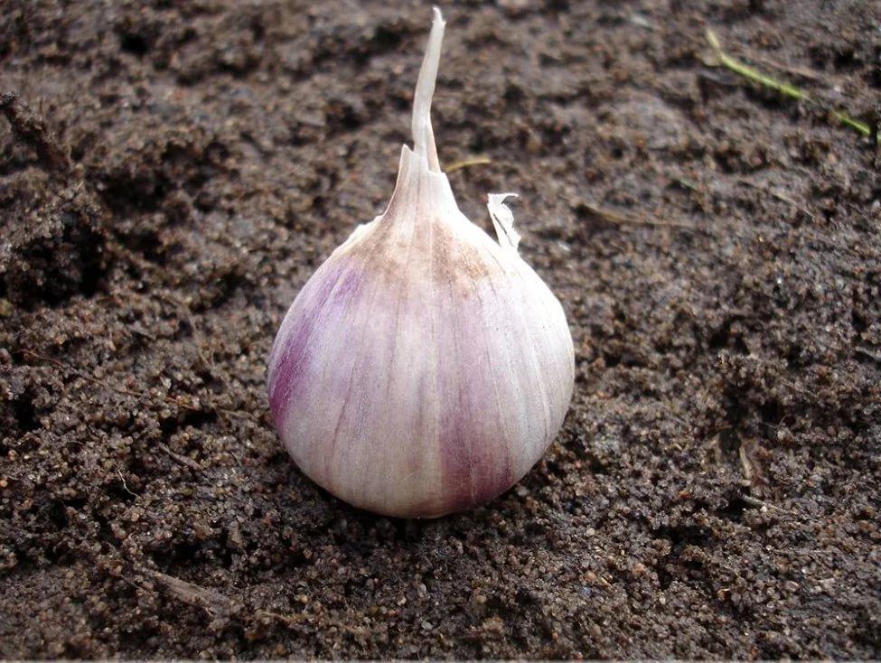 Какая почва нужна для чеснока