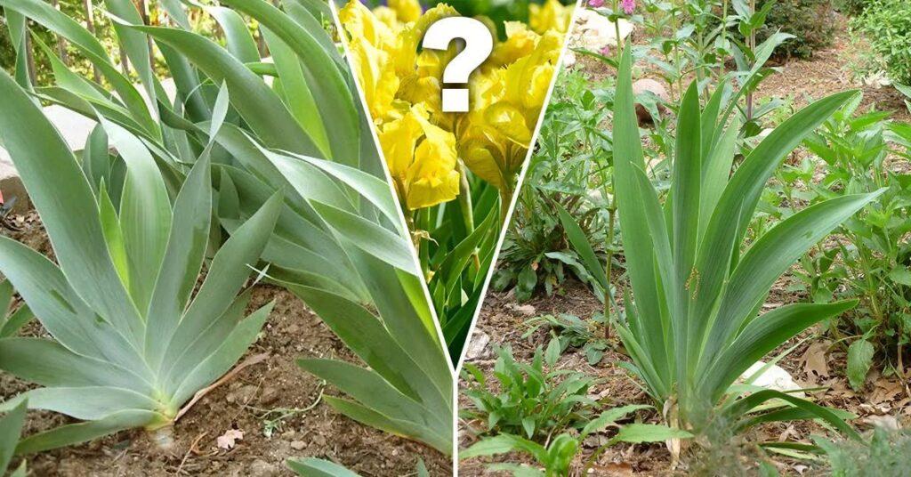 Почему ирисы не цветут