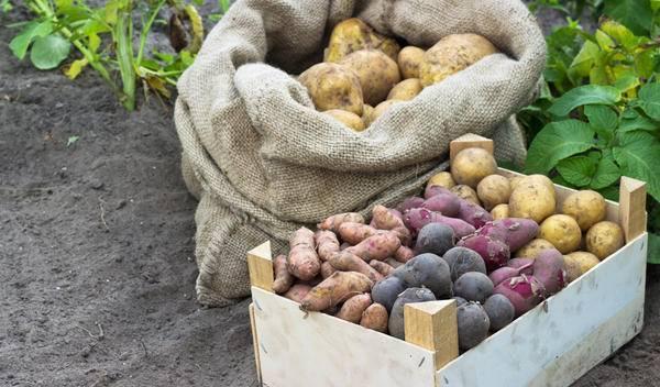 Сбор и подготовка картофеля к хранению на зиму
