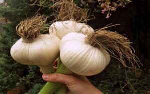 Выращивание чеснока. Секреты отменного урожая