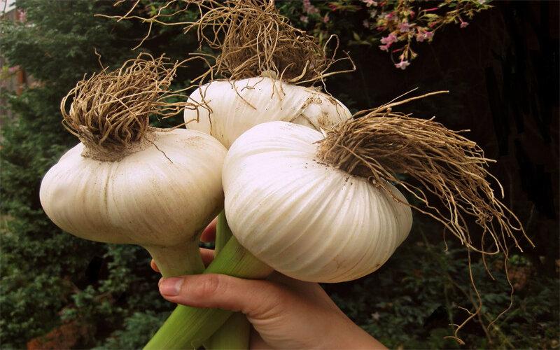 Все о выращивании чеснока
