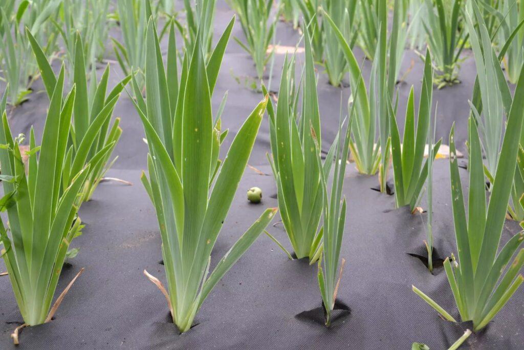 Выращивание ирисов из семян рассадой