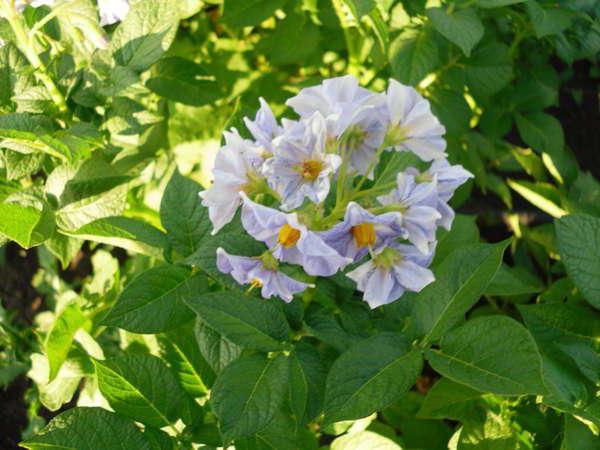 Голубизна цветет