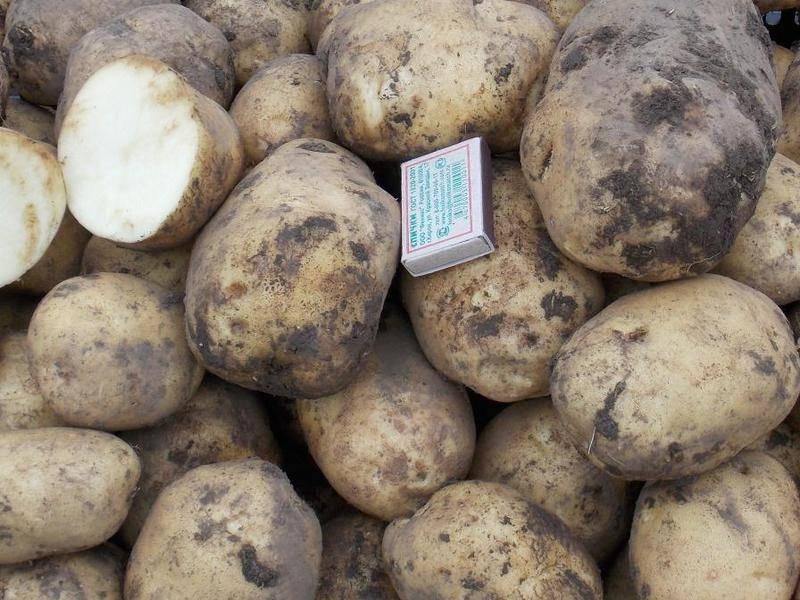 Характеристика картофеля Голубизна