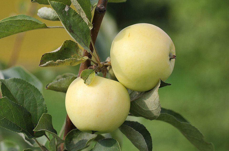 Характеристики плодов яблони Белый налив