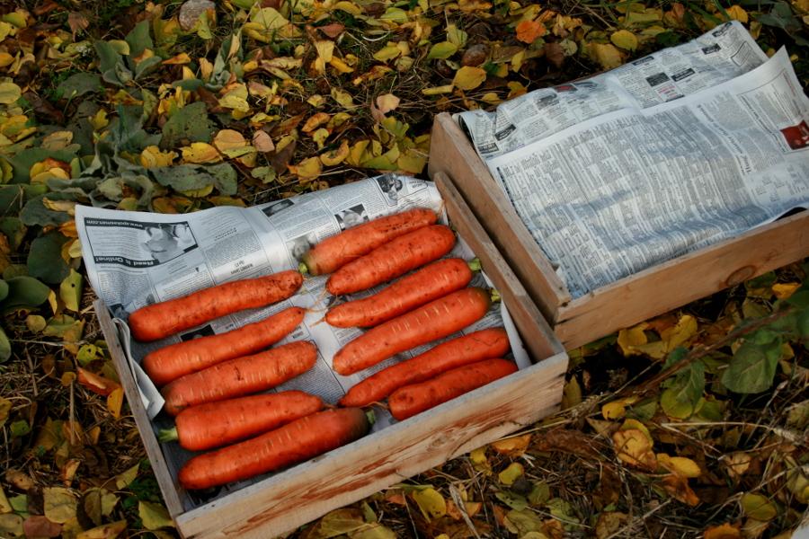 Хранение моркови зимой. Основные способы