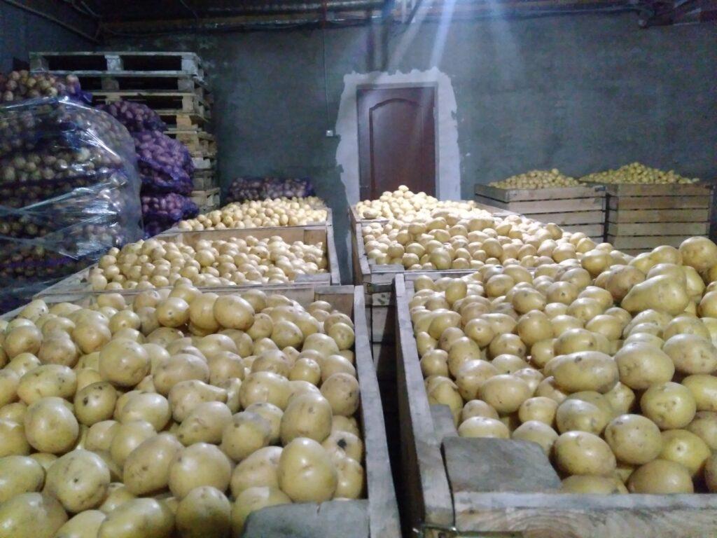 Хранение урожая картофеля Королева Анна