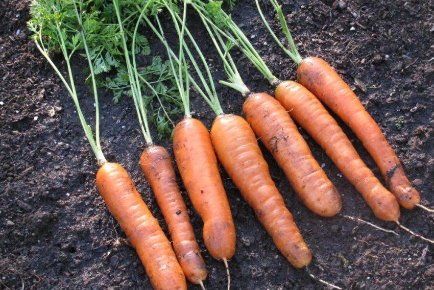 Как подготовить морковь к хранению?
