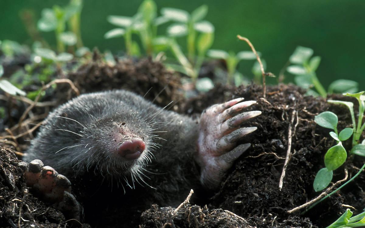 Крот в огороде. Как избавиться от вредителя?