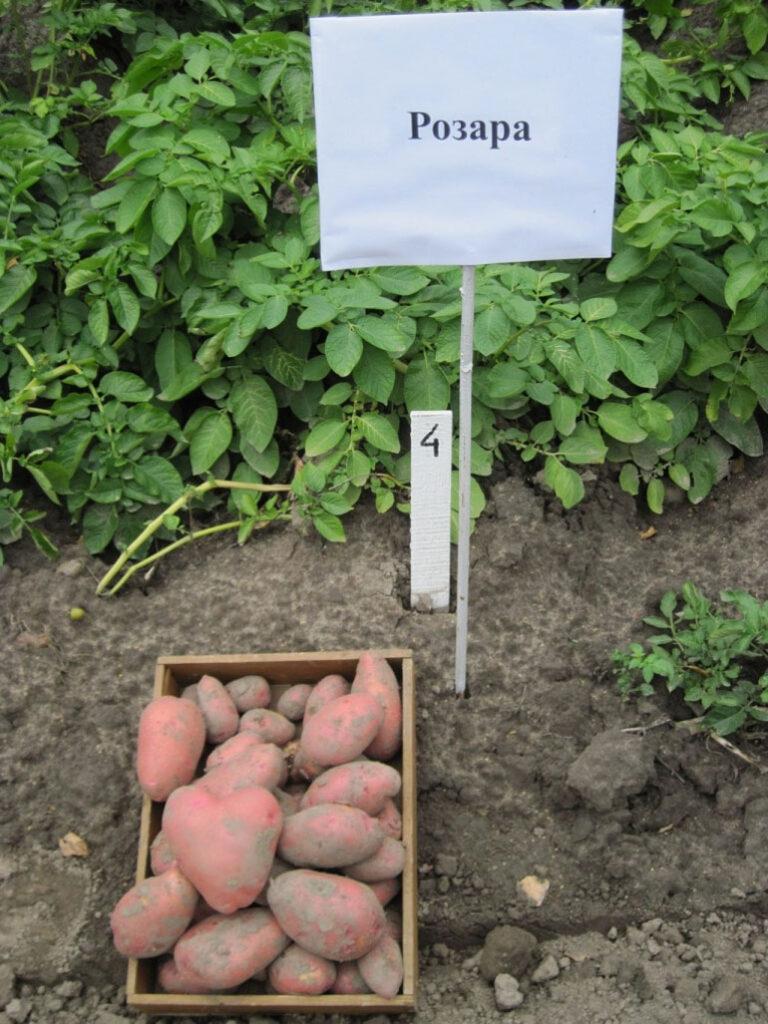 Куст и клубни картофеля Розара