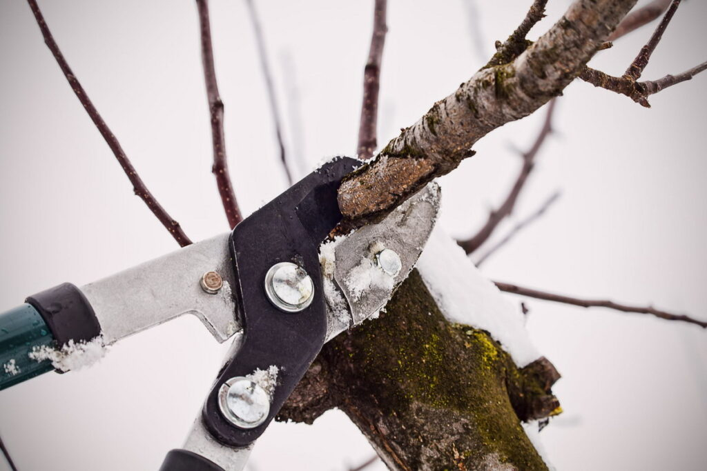 Обрезка яблони и подготовка к зиме
