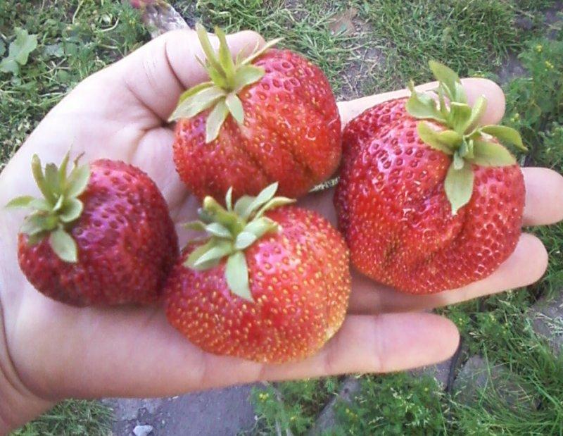 Описание ягод сорта Кимберли