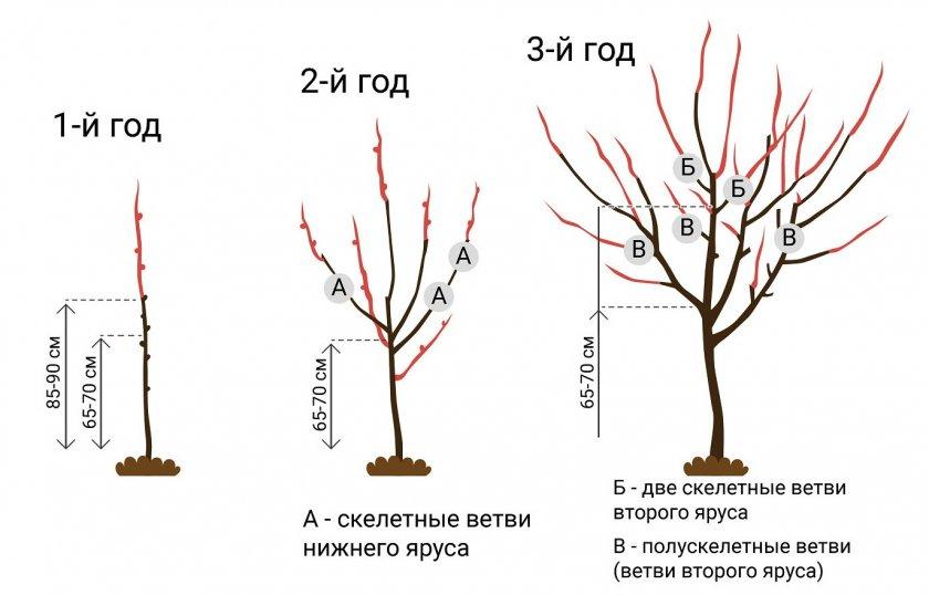 Особенности обрезки абрикоса осенью