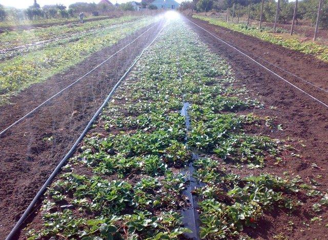 Особенности выращивания и ухода клубники Зефир