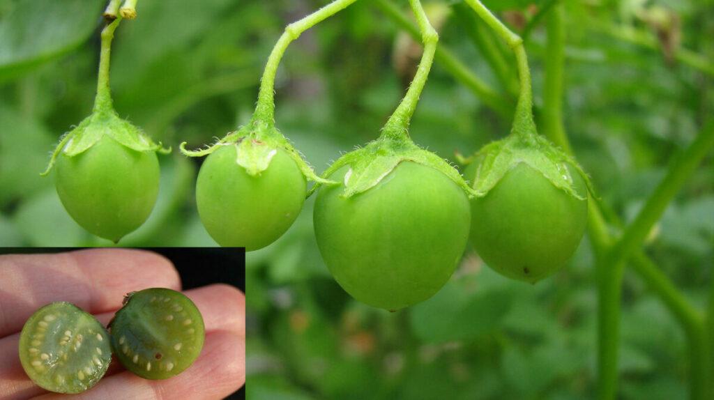 Особенности выращивания картофеля из семян