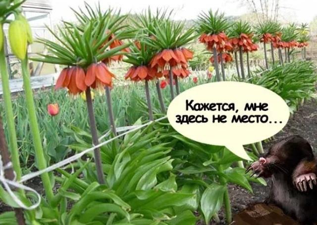 Растения отпугивающие крота