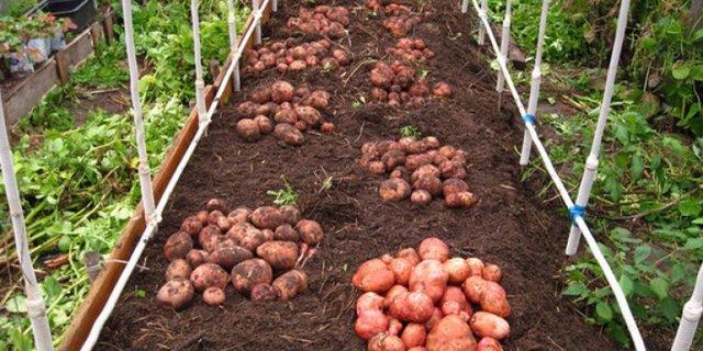Регионы для выращивания и сроки посадки картофеля Розара