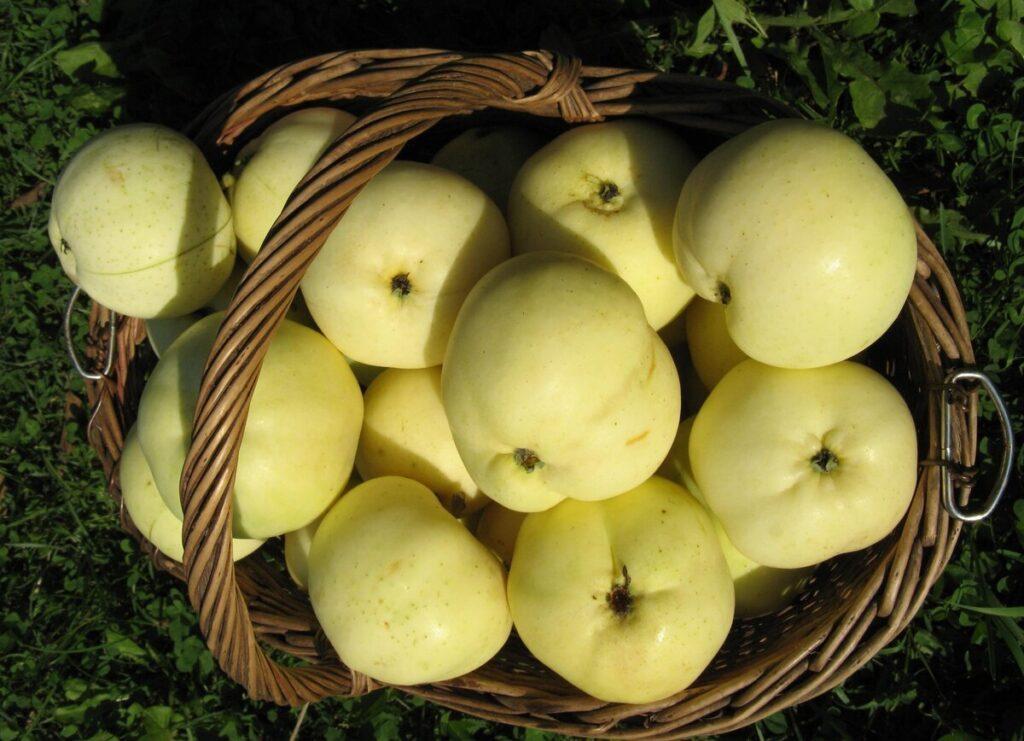 Сбор и хранение урожая яблок