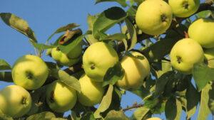 Сорт яблони Белый налив: характеристики, выращивание, преимущества, отзывы