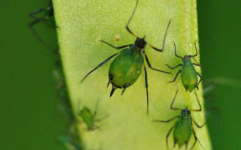 Тля зеленая