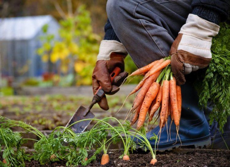 Условия хранения моркови