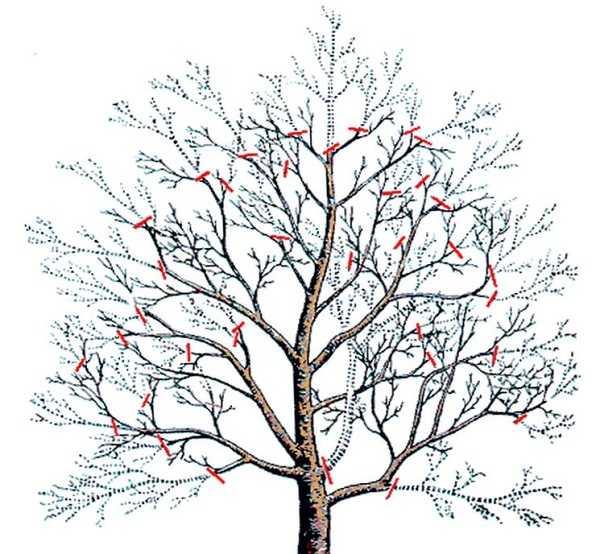 Важные правила осенней обрезки плодовых деревьев