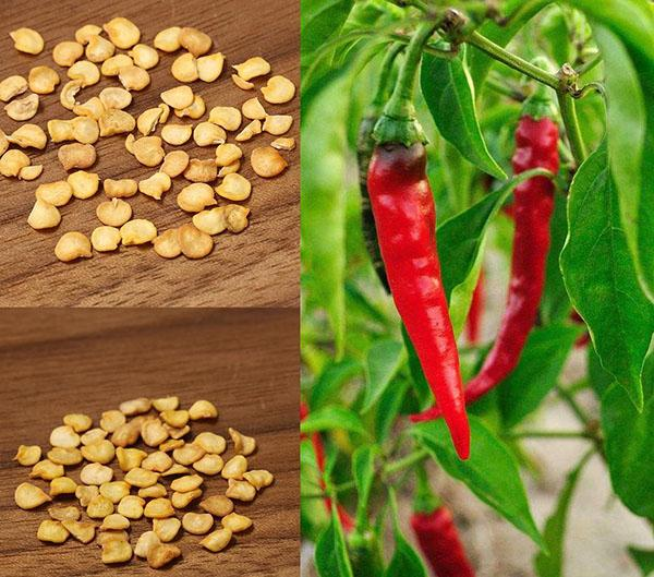Как получить семена перца чили?