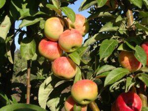 Колоновидная яблоня Джин: как правильно посадить и ухаживать?