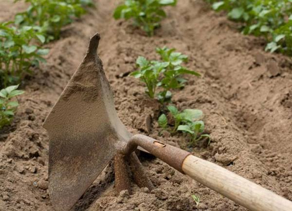 Окучивание картофеля Гала