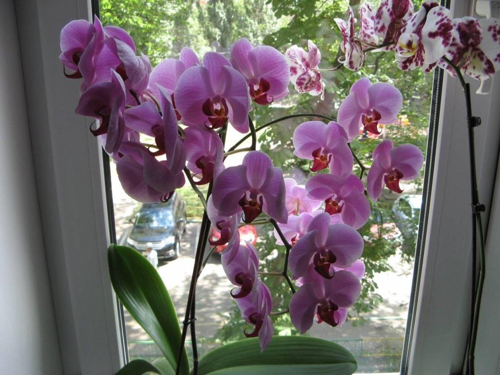 Уход орхидеи в период цветения