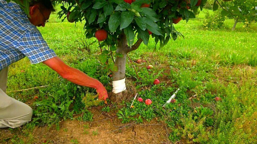 Уход за яблоней Джин