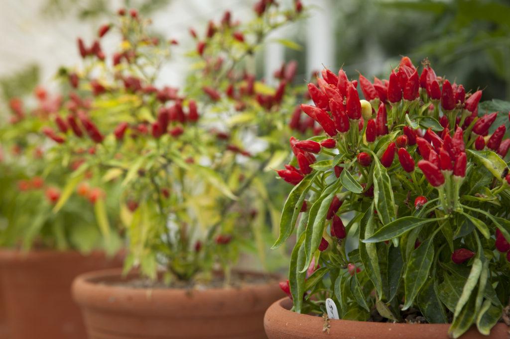 Как посадить перец острый дома самостоятельно?