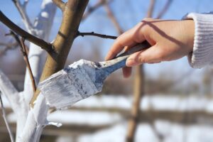 О пользе и некоторых секретах февральской побелки плодовых деревьев