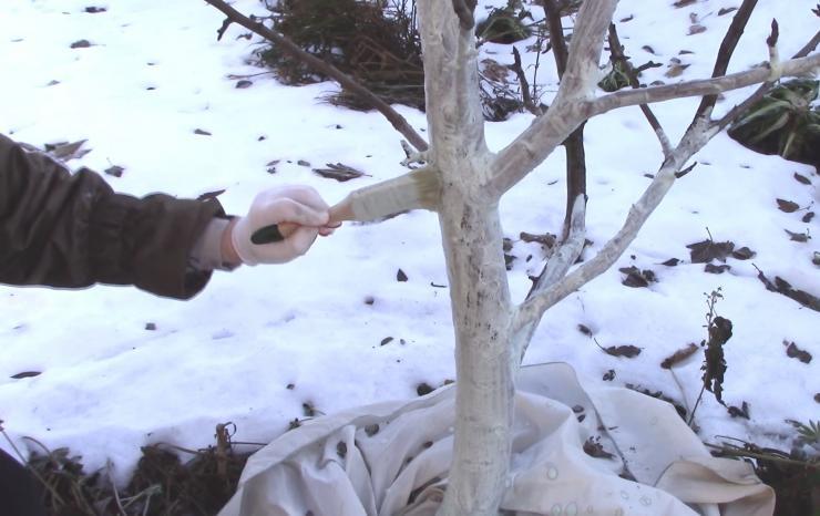 Побелка яблонь в феврале