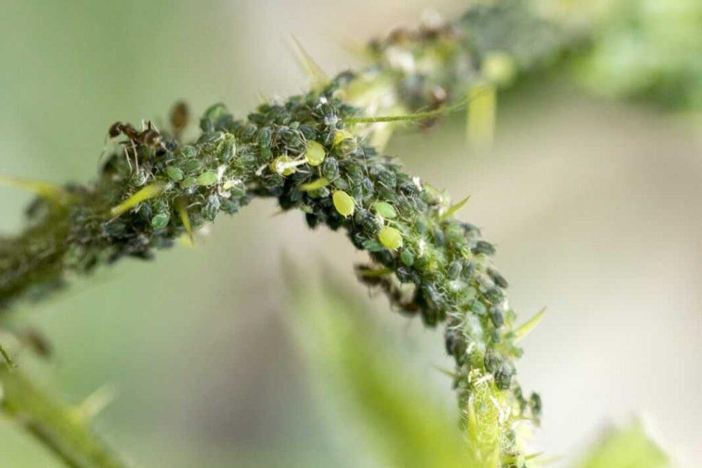 Смородинная – зеленая тля