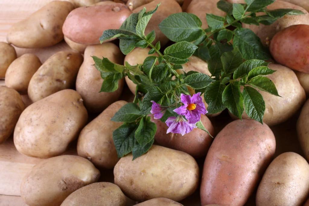 Картофель в Германии
