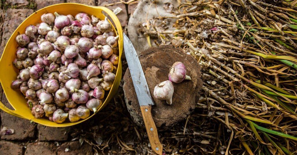 Сбор и подготовка чеснока к хранению зимой