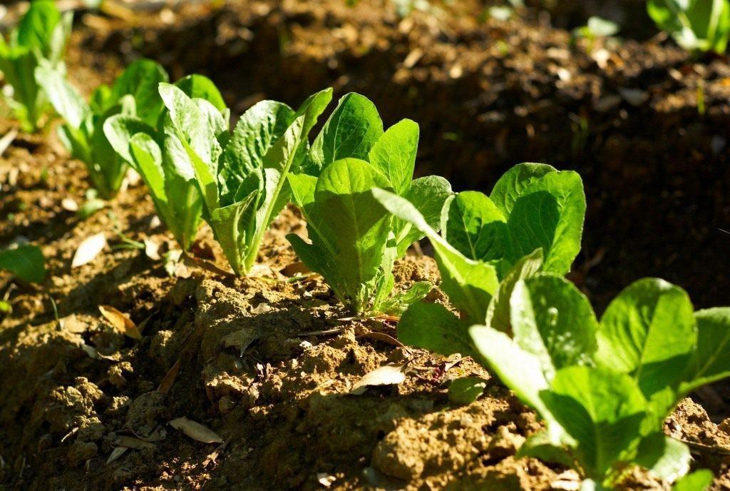 Высадка рассады салата