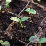 Как произвести посев огурцов на рассаду правильно
