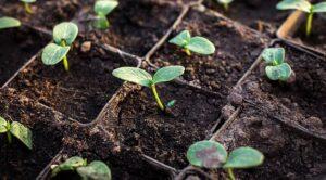 Как произвести посев огурцов на рассаду правильно?