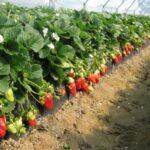 Как вырастить хороший урожай виктории