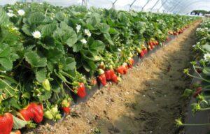 Как вырастить хороший урожай виктории?