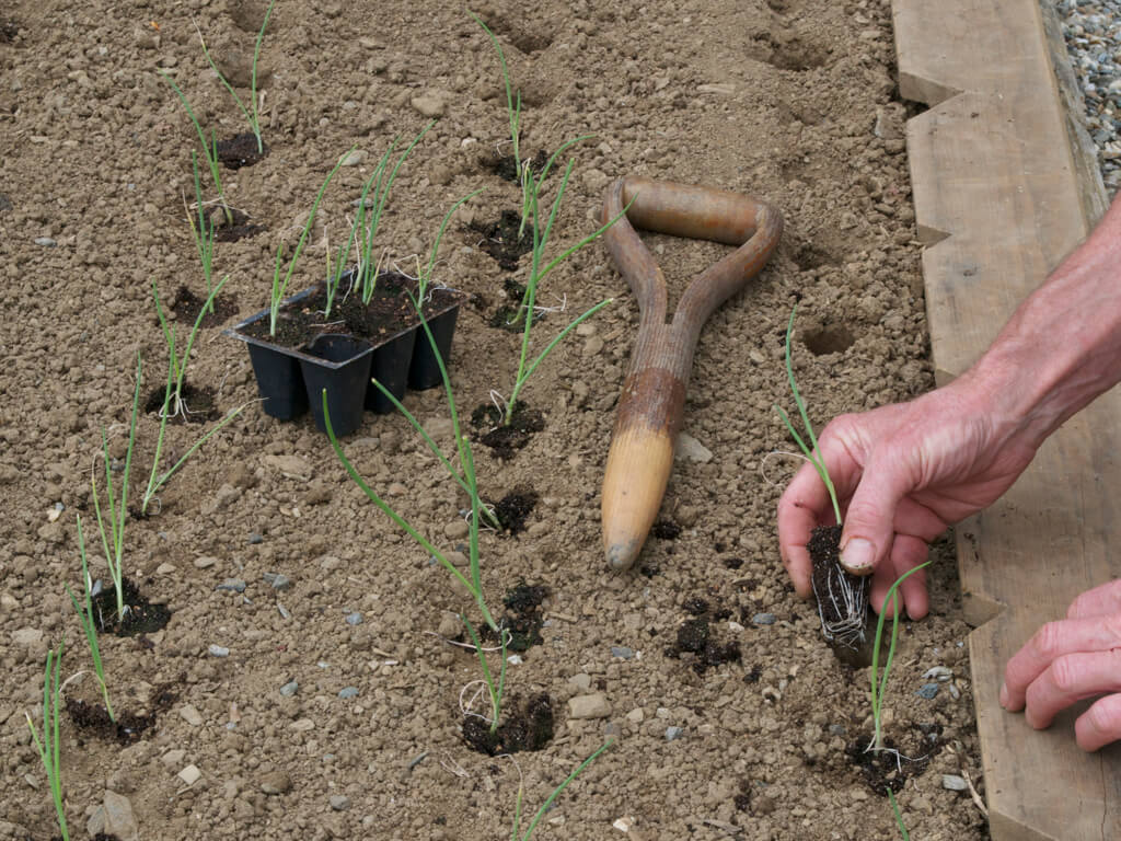 Лук-порей прямой посев в грунт