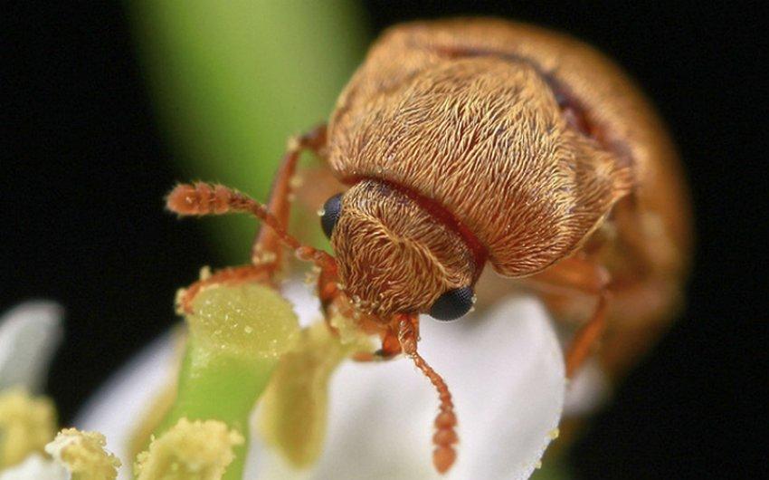 Малиновый жук