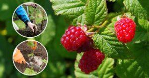 Позаботимся о малине: выращивание, посадка, уход