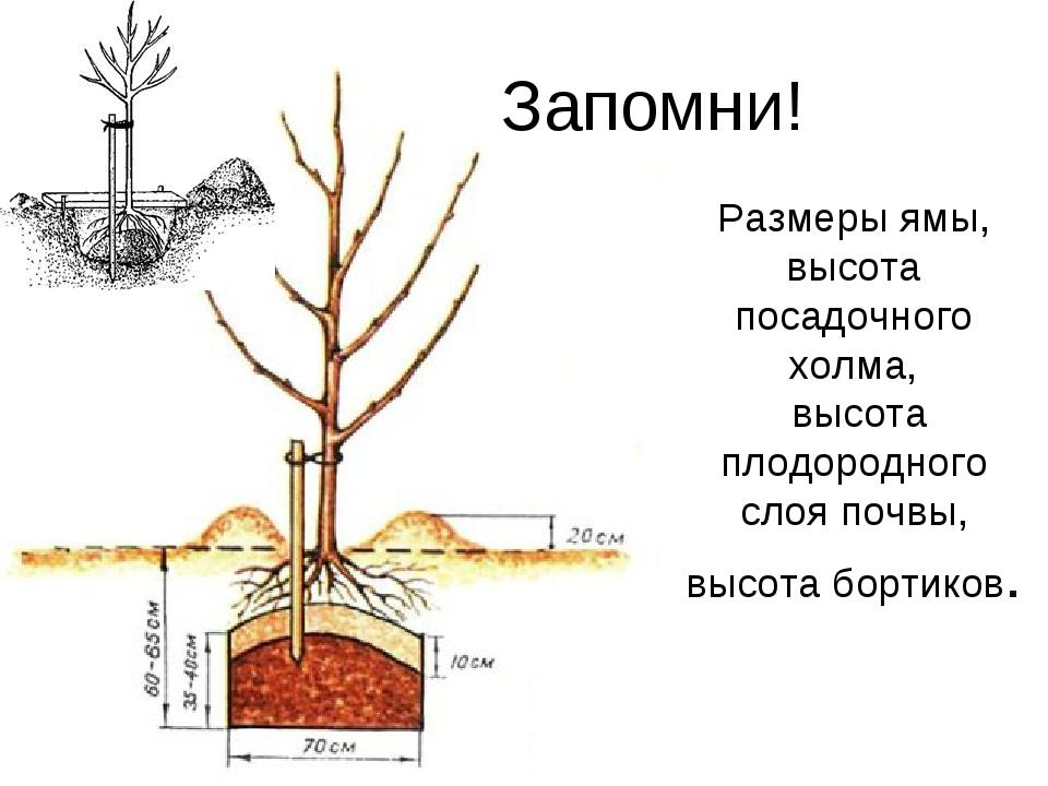 Слива требования к климату и почве