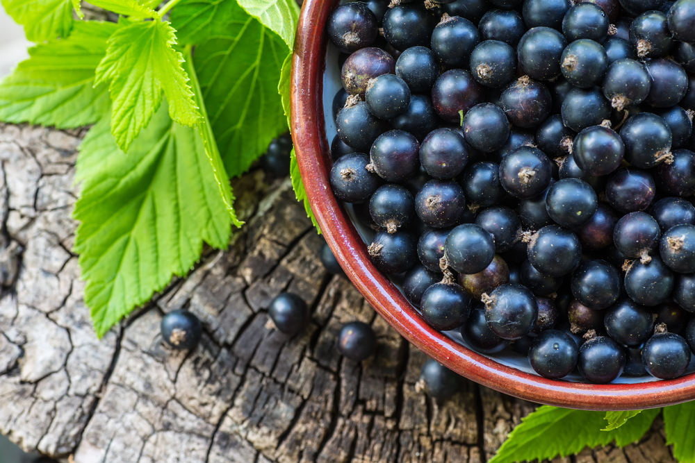 Чёрная смородина — это кустарник, на котором растут небольшие круглые ягоды. Они бывают чёрного, фиолетового, синего цвета и имеют кисло-сладкий вкус и приятный аромат. Из чёрной смородины можно варить компоты и варенье, добавлять в выпечку, делать на её основе десерты и даже вино. Кроме того, её можно сушить и замораживать для длительного хранения. Но наибольшую пользу ягода принесёт, если её употреблять в натуральном виде. Смородина широко используется не только в кулинарии, но и в косметологии и медицине, так как обладает полезными свойствами. Кроме плодов растения, также используют его листья и семена. В состав чёрной смородины входят антиоксиданты, пектин, дубильные вещества, сахара, эфирное масло, органические кислоты, полифенолы, антоцианы, витамины и минералы. Благодаря высокому содержанию витаминов, ягода помогает справиться с авитаминозом, значительно укрепляет иммунитет, защищает организм от вирусов, улучшает зрение. Для улучшения аппетита пьют сок и отвар из ягод. При анемии полезно употреблять ягоды, протёртые с сахаром и смешанные с гречневой мукой в равных пропорциях. Такая смесь поможет привести в норму уровень гемоглобина в крови. В состав смородины входит гамма-линоленовая кислота, которая положительно влияет на суставы. Она помогает восстановить подвижность суставов, уменьшить воспаление в организме и снять боль при артрите. В сочетании с большим количеством кальция, эта кислота способна понижать артериальное давление и предотвращать образование тромбов. Регулярное употребление чёрной смородины поможет снизить уровень плохого холестерина, улучшит кровообращение и предотвратит скачки сахара в крови, что очень полезно для больных сахарным диабетом. Кроме того, содержащиеся в ягоде антоцианы, очень важны для профилактики болезней сердца. Магний, который находится в смородине, благотворно влияет на нервную систему, помогает избавиться от бессонницы и повышенной тревожности, восстанавливает и защищает нервные клетки, предупреждает появление таких болез