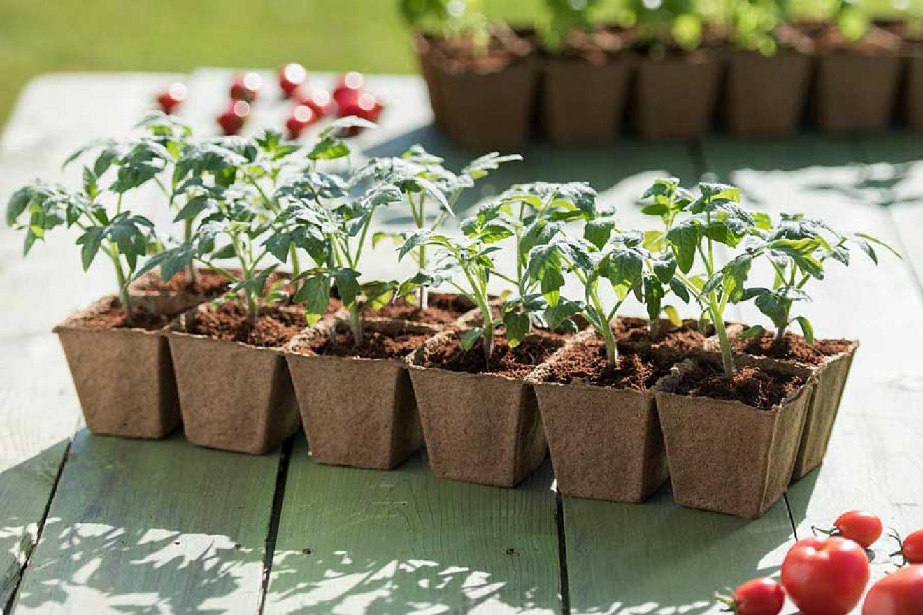 Как успешно выращивать рассаду овощей