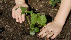 Посадка клубники летом. Как сажать клубнику в августе. Что следует знать каждому садоводу?